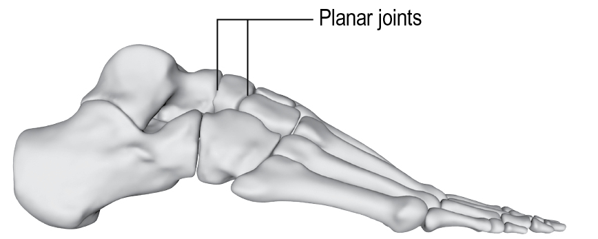 To Movement And Joints Musculoskeletal Key An example of a synchondrosis is the joint between the diaphysis and epiphysis of a growing long bone. to movement and joints