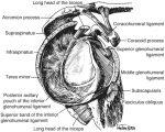 Shoulder Anatomy and Biomechanics