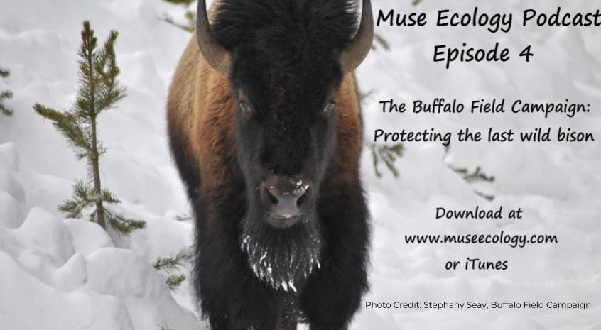 Episode 4:  The Buffalo Field Campaign, Protecting the Last Wild Bison