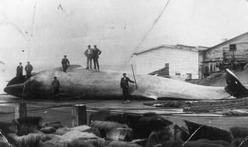 Photographe inconnu, sans date. Musée de la Gaspésie. P1 Fonds Musée de la Gaspésie. P1/16. - Description: chasse à la baleine.