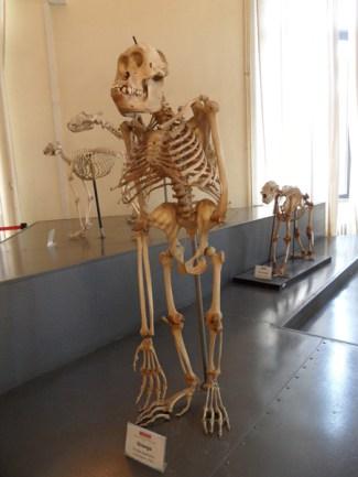 Scheletro di orango