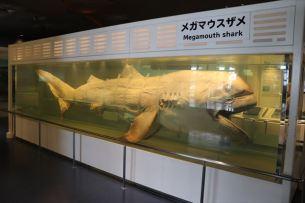 メガマウスザメの液浸標本