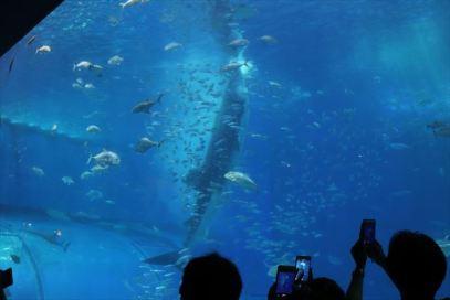 ジンベイザメの立ち泳ぎ