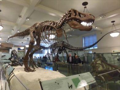 大型の恐竜化石を展示するには天井の高さが少し低いです
