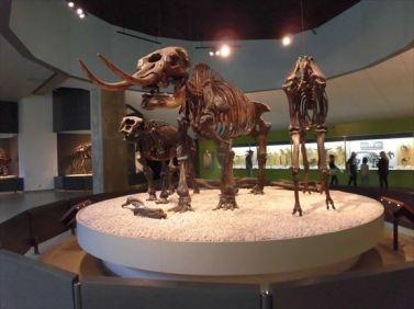 タール池から発掘された化石を展示しています