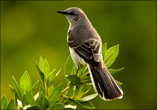 Northern Mockingbird, Mimus polyglottis