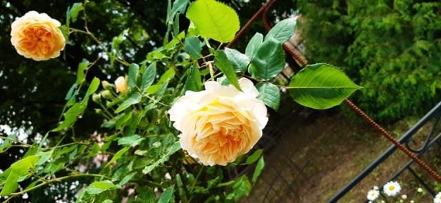 первые розы