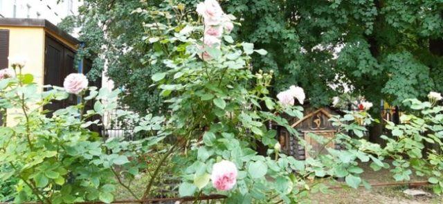 зацвели розы в музее