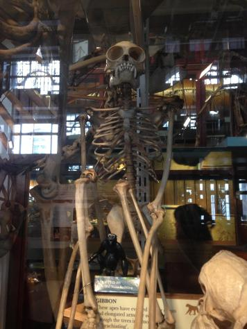 Grant Museum gibbon