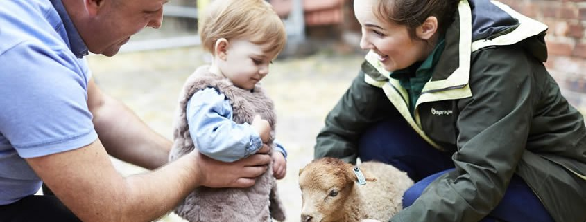 A young girl is playing with a baby goat.