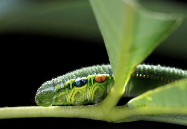 ツマベニチョウ Hebomoia glaucippe は神経毒をもつが茹でれば食えるか?