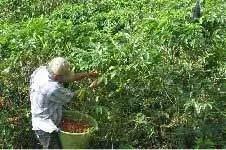 Hand Harvesting Coffee