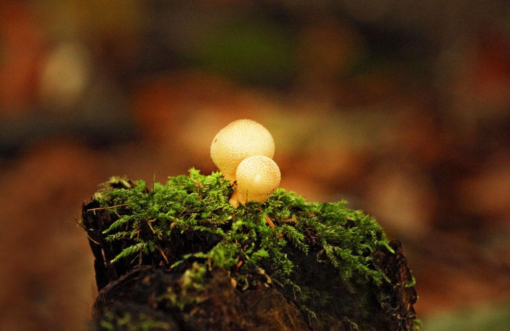 paf mushroom