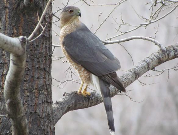 Cooper's Hawk, Grant Park