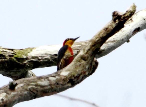 Yellow-Fronted Woodpecker IMG_1381_1