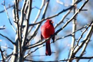 Cardinal IMG_8089_1