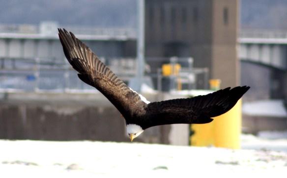 Eagle IMG_9561