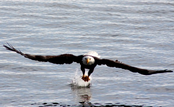 Eagle IMG_9566