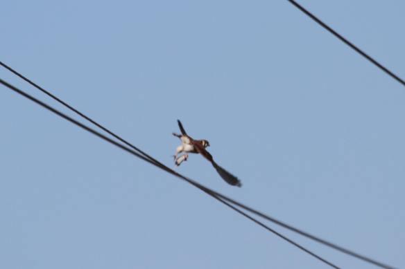 Kestrel w prey IMG_9383_1