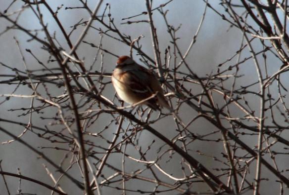 Tree Sparrow IMG_9093_1