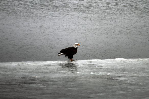 Eagle on the Ice IMG_0381_1