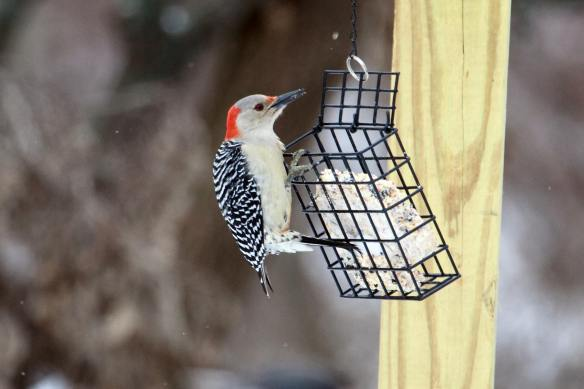 RB Woodpecker IMG_1562_1