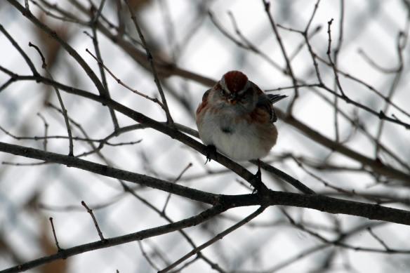 Tree Sparrow IMG_0090_1