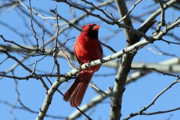 Cardinal IMG_1482_1