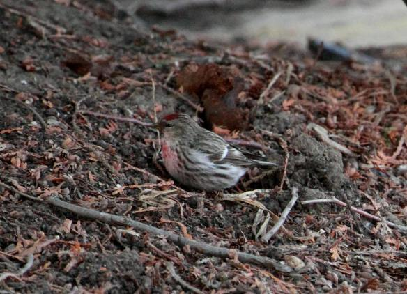 Common Redpoll IMG_2678_1