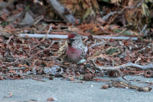 Common Redpoll IMG_2683_1