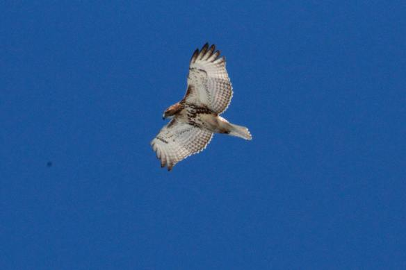 Red Tail IMG_2374_1