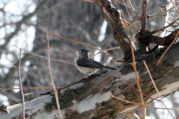 Singing Tufted Titmouse