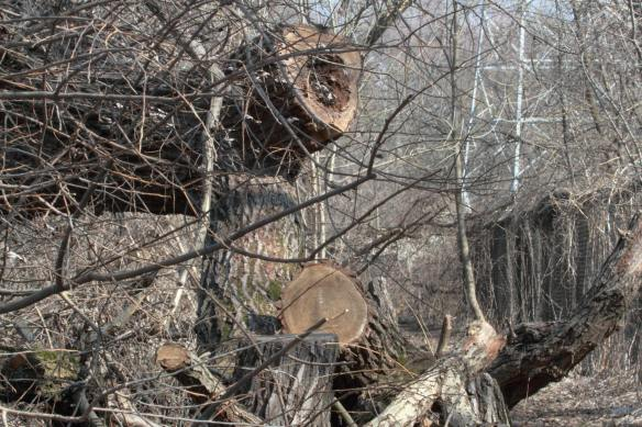 Downed Tree IMG_4462_1