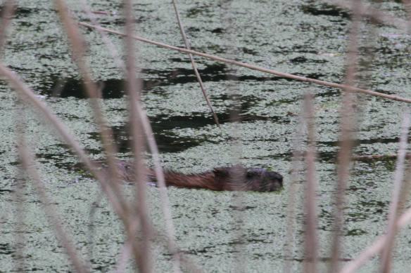 Beaver IMG_3053_1