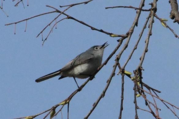 Blue-Gray Gnatcatcher...with gnat!