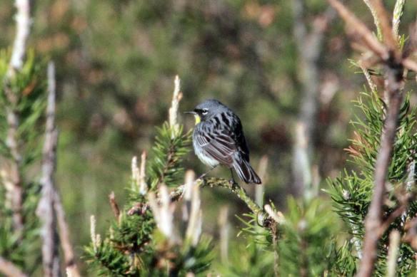 Kirtland's Warbler IMG_0518_1 - Copy