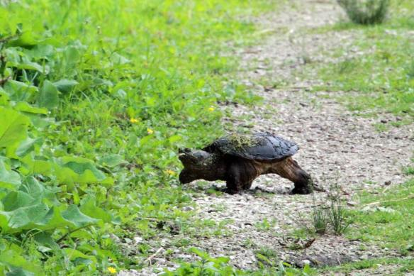 Snapping Turtle IMG_3041_1