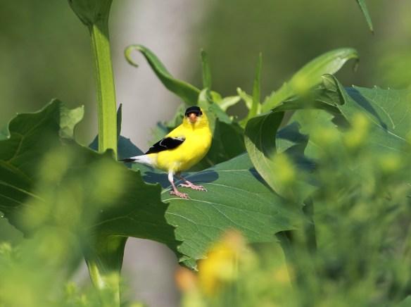 Goldfinch, Middlefork Savanna
