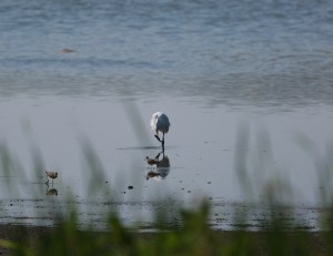 Great Egret & Lesser Yellowlegs 1I2A1471