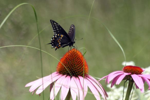 Swallowtail IMG_9839_1