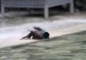 Grackle Bath LSE IMG_6645