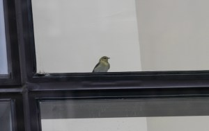 Tennessee Warbler behind glass at 155 North Wacker deli
