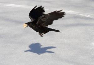 Millennium Park Crow with Peanuts