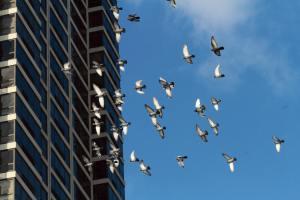 Rock Pigeon Flight Drills