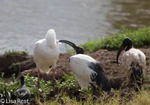 Sacred Ibis Preening African Spoonbill