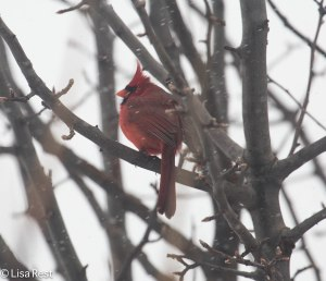 Male Northern Cardinal, through the window