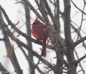 Male Northern Cardinal, through the window