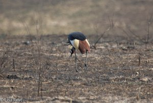 Gray-Crowned Crane 11-21-13 5675.jpg-2