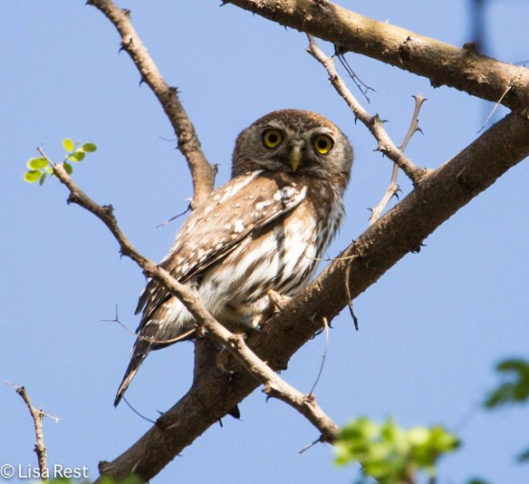 Pearl-Spotted Owlet 11-22-13 6696.jpg-2