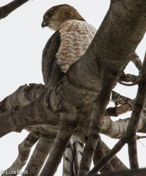 Cooper's Hawk on my neighbor's tree